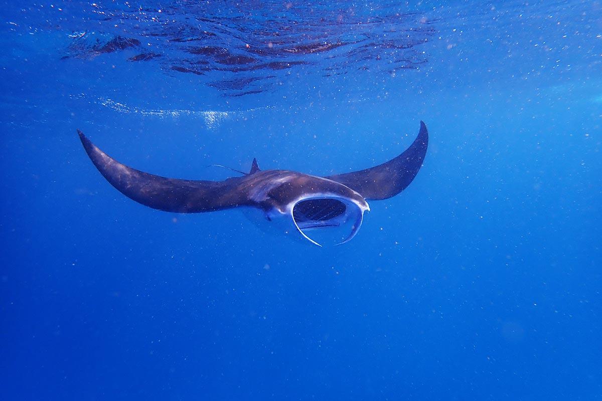 Reef Manta Ray - Kisali (3)Reisekonzept