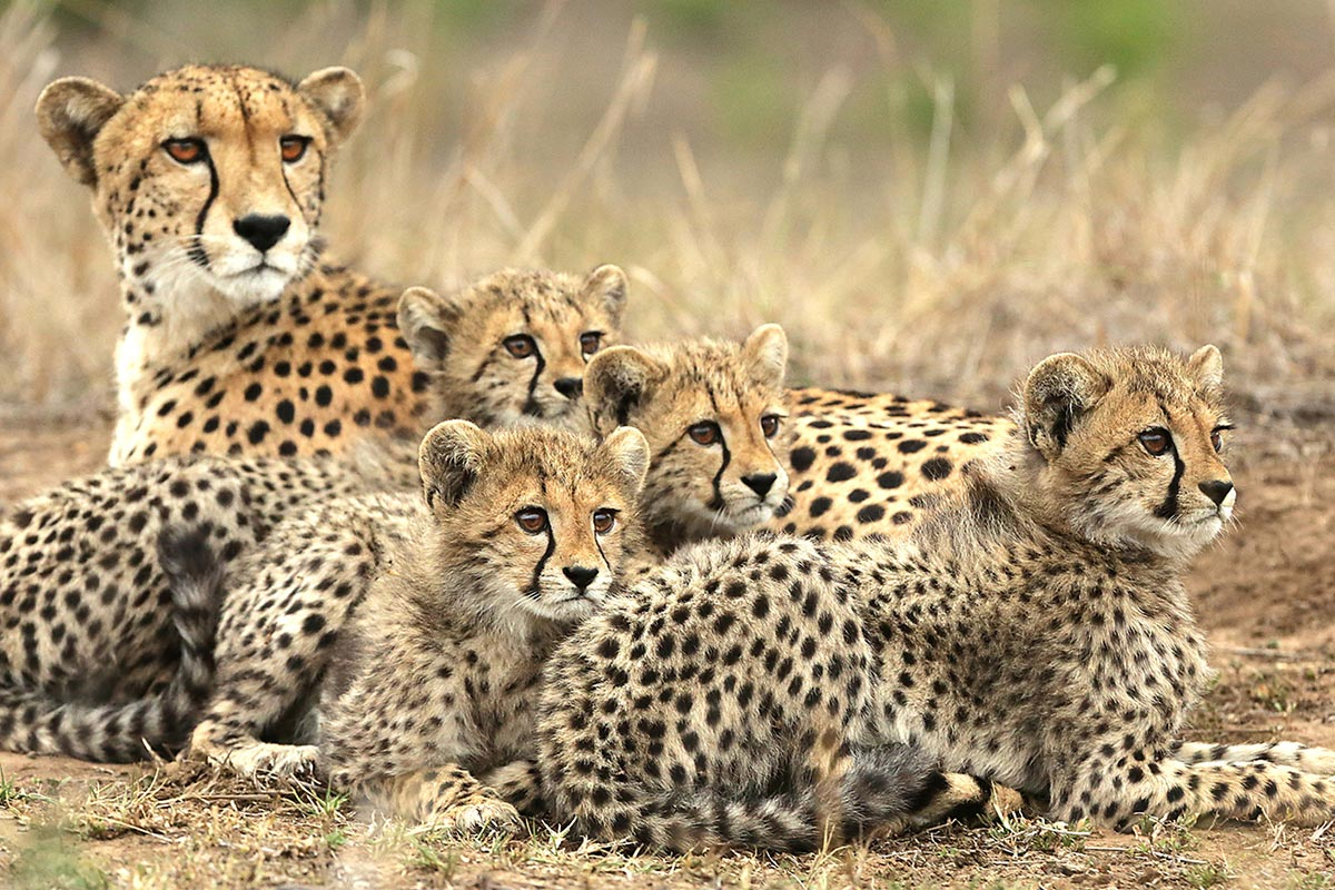 phinda-cheetahReisekonzept